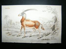 Jardine: 1835 The Algazel, Hand Col Print