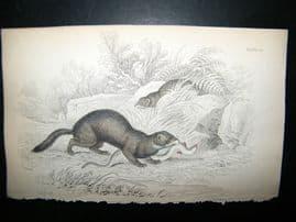 Jardine 1838 Antique Hand Col Print. Pole Cat