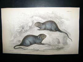 Jardine 1838 Antique Hand Col Print. The Black Water Rat