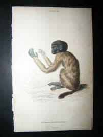 Jardine C1835 Antique Hand Col Print. Cacajao Monkey