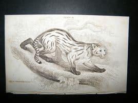 Jardine C1835 Antique Hand Col Print. Felis Colocolo