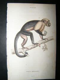 Jardine C1835 Antique Hand Col Print. Large Headed Sapajou Monkey