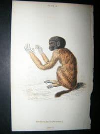 Jardine C1835 Antique Hand Col Print. Pithecia Melanocephala Monkey