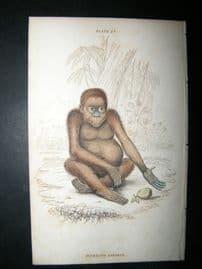 Jardine C1835 Antique Hand Col Print. Pithecus Satyrus Monkey