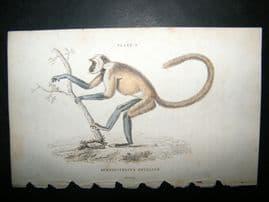 Jardine C1835 Antique Hand Col Print. Simpai Monkey
