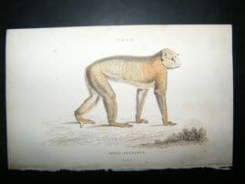 Jardine C1835 Antique Hand Col Print. The Barbary Ape