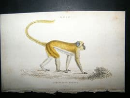 Jardine C1835 Antique Hand Col Print. The Green Monkey