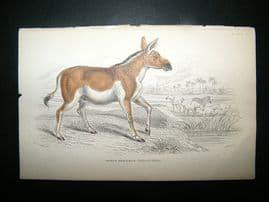 Jardine: C1840 Asinus Hemionus, Hand Col Print