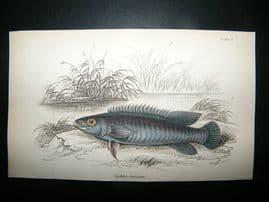 Jardine: C1840 Cychla Fasciata Fish, Hand Col