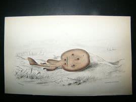 Jardine: C1840 Galvanis Torpedo Fish, Hand Col Print