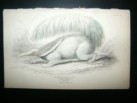 Jardine: C1840 Great Ant Eater, Hand Col Print