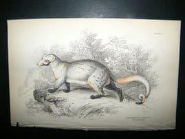 Jardine: C1840 Paradoxurus Dubius, Hand Col Print