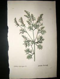 Knorr 1770 Folio Hand Col Botanical Print. Absinthium Vulgare Majus