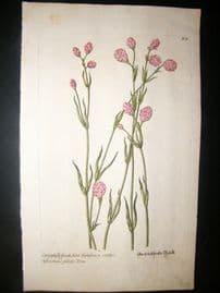 Knorr 1770 Folio Hand Col Botanical Print. Caryophylli Spicati Hort.