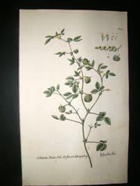 Knorr 1770 Folio Hand Col Botanical Print. Cochleata Rivin