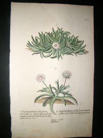 Knorr 1770 Folio Hand Col Botanical Print. Mesembryanthemum bellidi florum
