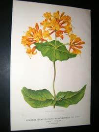 L'Illustration Horticole 1871 Botanical Print. Lonicera Sempervirens Plantierensis