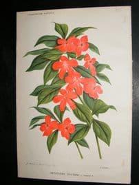 L'Illustration Horticole 1883 Botanical Print. Impatiens Sultani