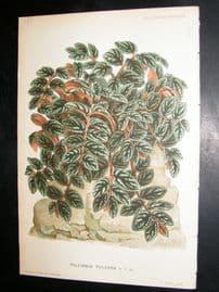 L'Illustration Horticole 1883 Botanical Print. Pellionia Pulchra