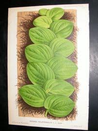 L'Illustration Horticole 1883 Botanical Print. Pothos Celatocaulis