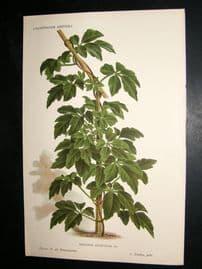 L'Illustration Horticole C1870 Botanical Print. Mikania Apiifolia
