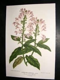 L'Illustration Horticole C1870 Botanical Print. Scutellaria Alborosea