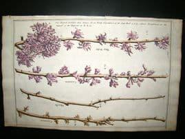 Langley 1729 Folio H/Col Botanical Print. May Duke, Carnation Morello Branches 5