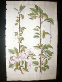 Langley 1729 Folio Hand Col Botanical Print. Apple Trees, Fruit 7