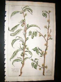 Langley 1729 Folio Hand Col Botanical Print. Peach & Apricot Trees, Fruit 11