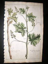 Langley 1729 Folio Hand Col Botanical Print. White Fig, Muscadine Grape Fruit 10