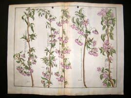 Langley 1729 LG Folio Hand Col Botanical Print. Chery Trees, Fruit 12 & 13