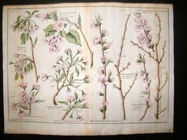 Langley 1729 LG Folio Hand Col Botanical Print. Jargonel, Bergamot, Peach 2 & 3