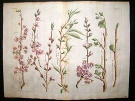 Langley 1729 LG Folio Hand Col Botanical Print. Plum, Peach, Apricot, Fig 8 & 9