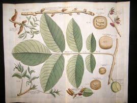 Langley 1729 LG Folio Hand Col Botanical Print. Walnut Tree 58 & 59