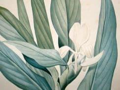 Les liliacees. 1802-16