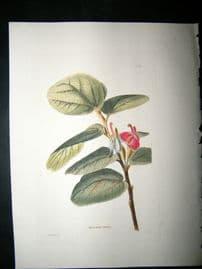 Loddiges 1820's Hand Col Botanical. Helicteres Isora 119. West Indies