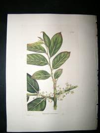 Loddiges 1820's Hand Col Botanical. Phyllanthus Fraxinifolius 839 India