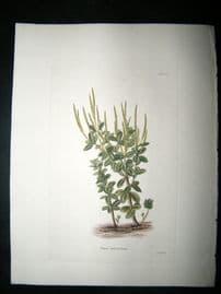 Loddiges 1820's Hand Col Botanical. Piper Pulchellum 574 West Indies