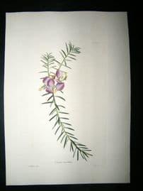 Loddiges 1820's Hand Col Botanical. Polygala Teretifolia 294