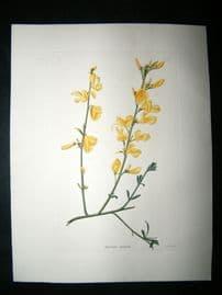 Loddiges 1820's Hand Col Botanical. Spartium Purgans 1117