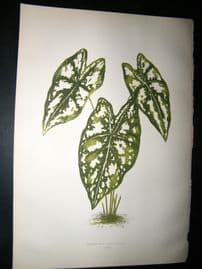 Lowe 1891 Antique Botanical Print. Caladium Argyrites