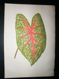 Lowe 1891 Antique Botanical Print. Caladium Chantini