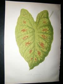 Lowe 1891 Antique Botanical Print. Caladium Verschaffeiti