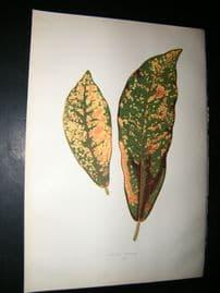 Lowe 1891 Antique Botanical Print. Croton Pictum