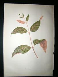 Lowe 1891 Antique Botanical Print. Echites Nutons