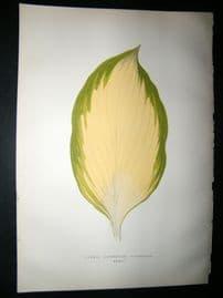 Lowe 1891 Antique Botanical Print. Funkia Sieboldiana Variegata