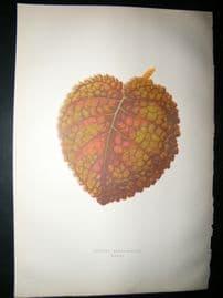 Lowe 1891 Antique Botanical Print. Gesnera Cinnabarina