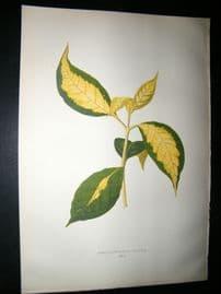 Lowe 1891 Antique Botanical Print. Graptophyllum Pictum