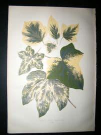 Lowe 1891 Antique Botanical Print. Hedera Helix Variegata