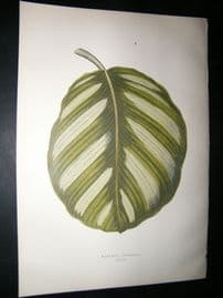Lowe 1891 Antique Botanical Print. Maranta Fasciata